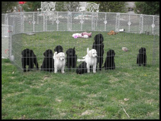 Vic-Tori Standard Poodles - Breeder in Missouri  Poodle puppies for sale